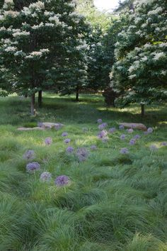 Allium christophii hovers above sea of Carex pennsylvanica with Syringa reticulata 'Ivory Silk', the Japanese Tree Lilac.