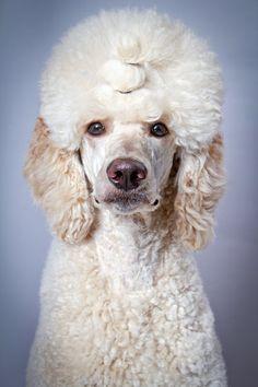 """DOGS POODLES ♡ STANDARDS ~ """"A Poodle Portrait"""" - Geraldine"""