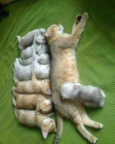 Poor momma kitty needs some rest!  8 kittens... Good Grief!