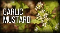 Garlic Mustard - Wild Edibles Series