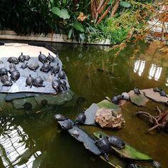 El jardín tropical de la estación de Atocha también alberga pequeñas tortugas de agua o galápagos que de solo mirarlas te quedas embelesado. * * #Madrid #igersmadrid #igersespaña #Madridgrafias #MadridMeMata #MadridMeMola #instamadrid #themadridbible #ig_madrid #igersspain #madridmola #igerspormadrid #ig_spain #visitspain #TravelAndLife #fotosMadrid #instalike #MadridSeduce #ILoveMadrid #MadridCity #Madriz #MadridGram #QuieroMadrid #VenezolanosEnMadrid #visitamadrid #venezolanosenespaña…