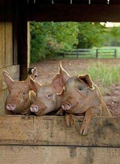 Must be 'hog heaven'!