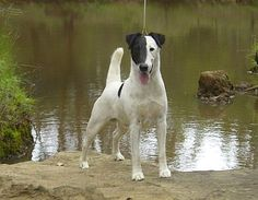 Smooth Fox Terrier. Read all about these fabulous dogs.