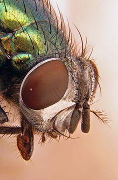 Macro of a Green-Bottle-Fly