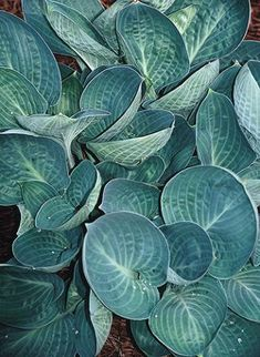 Hosta 'Dixie Cups' (T. Avent 07) -- part sun to light shade; 15""