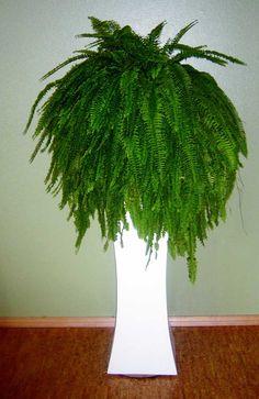 Image detail for -Low Light Indoor Plants - Fern