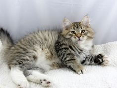 Sir Henry at 12 weeks old - Mystic Melody Siberian Cats