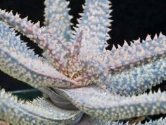 Aloe cv. 'Princess Jack', a K. Zimmerman hybrid