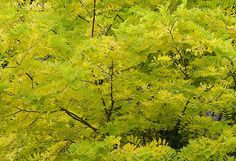Sunburst Honey Locust | LAND ARCH | Shrubs + Trees | Pinterest