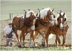 The Amish use draft horses to pull their farm plows. If a fella has a beard, he's married; cleanshaven, he's single. Good to know, huh? Big Horses, Work Horses, Pretty Horses, Horse Love, Beautiful Horses, Black Horses, Amish Farm, Amish Country, Country Farm