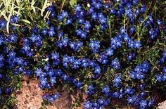 Lithodora  One of our few true blue flower perennials. I'll have to find where to buy this.