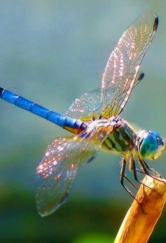 The Effective Pictures We Offer You About Insects pictures A quality picture can tell you many things. You can find Dragonfly Images, Dragonfly Insect, Insect Art, Dragonfly Wings, Beautiful Creatures, Animals Beautiful, Cute Animals, Beautiful Bugs, Beautiful Butterflies