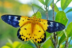 Beautiful moth of the day:  Spotted Golden-looper Moth aka Yellow Moth (Dysphania sagana)