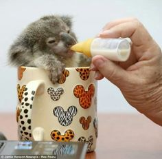 So cute - baby koala :-D