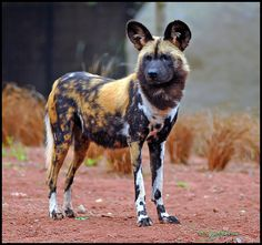 African wild dog, also called Cape hunting dog or painted dog, typically roams the open plains and sparse woodlands of sub-Saharan Africa. African Hunting Dog, African Wild Dog, Hunting Dogs, Cute Creatures, Beautiful Creatures, Animals Beautiful, Coyotes, Animals And Pets, Cute Animals