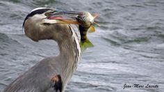 https://flic.kr/p/MMEcya | Grand héron- perchaude, 1er octobre 2016 | Observation sur les berges du St-Laurent dans le secteur d'oiseaux migrateurs de l'île aux hérons. - Parc des Rapides -