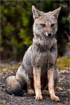 Wildlife - Gray Fox Bilder: Poster von Max Steinwald bei Posterlounge.de