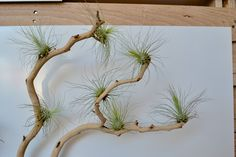 Airplants attached to manzanita branch