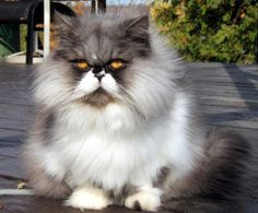 Persian beautiful cat, such an aristocat...  looks like it should be smoking a pipe