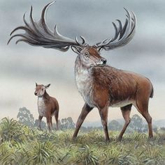 Stretching from Ireland to Russia this now extinct species of megafauna was quite numberous during the Pleistocene. It was not really an elk, in fact a giant deer. They could be over seven tall.