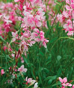 Gaura lindheimeri 'siskiyou pink' Hardiness - (may need winter protection) Cultivation - Best grown in fertile, moist but well-drained soil in full sun; but dry soils and partial shade tolerated Pruning - Cut back after flowering Gaura, Flowers, Flower Field, Small Flowers, Pink Garden, Native Garden, Plants, Fine Gardening, Deer Resistant Plants