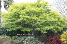 acer palmatum 'seiryu'  If you think the green and shape is pretty then you should see the amazing color this tree gives off when it turns in the fall!!!