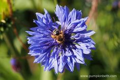 A bee on a cornflower. Cornflowers are also known by their botanical name of Centaurea cyanus. Pictured outside the Butterfly Dome, at the RHS Hampton Court Palace Flower Show 2016.