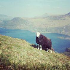 我孤獨地漫遊,像羊I wandered lonely as a sheep... :-)