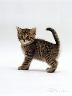 american shorthair tabby kitten - Google Search