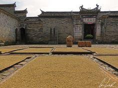 Chine, village de Peitian: riz sur des séchoirs.