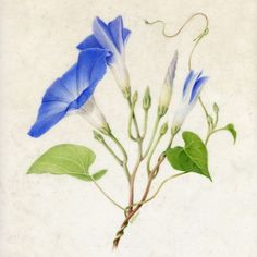 'Following in the Bartrams' Footsteps', American Society of Botanical Artists, at UC Berkeley Botanical Garden. [Title unknown/morning glory?] © Rose Marie James