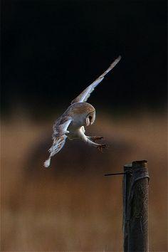 Barn owl - mg_6403, by Nigel Pye   Flickr