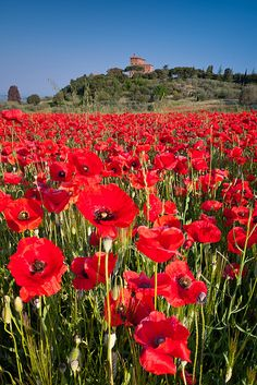 Poppy field below Palazzo Massaini near Pienza, Tuscany, Italy.I remember the beautiful fields of poppies in San Vito, Italy; so beautiful, Siena Toscana, Toscana Italia, Beautiful World, Beautiful Places, Tuscany Italy, Sorrento Italy, Italy Italy, Naples Italy, Venice Italy