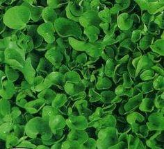 Questa piccola piantina strisciante è utile per realizzare tappeti erbosi senza dover ricorrere alle falciature settimanali. Il prato è il biglietto da visita di ogni giardino e pre