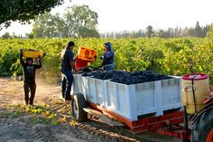 Harney Lane Winery's Lizzy James Vineyard Zinfandel harvest. Harvest 2013. Photography by Randy Caparoso.