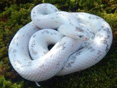 10 Beautiful Corn Snake Morphs - Reptile World Facts