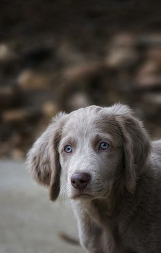 Longhaired Weimaraner- beautiful dog... didnt know there was such a thing as a long haired weimaraner
