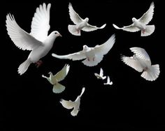 Doves are one of the two birds found in the novel. The Doves are introduced in the beginning of the novel. The doves are plumed in white feathers which represent peace and innocence; the birds also symbolize freedom.