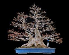 Бонсай клен бургерианум Acer burgerianum Высота: 60 см от основания ствола Плошка: 60 см. Диаметр ствола:  45 см. Возраст: более 50 лет