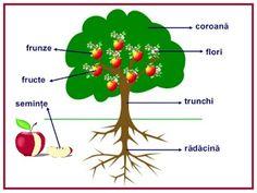 CLASA NOASTRĂ: Părţile unei plante Activities For Kids, Christmas Ornaments, Learning, Holiday Decor, Home Decor, School, Plant, Decoration Home, Room Decor