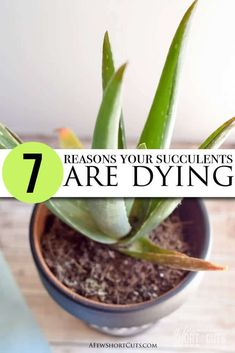 Give these 7 reasons your succulents are dying your consideration, make the changes needed, and enjoy the succulents you have always dreamed of.