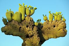 Arizona - The rare crested sajuaro with blossoms.