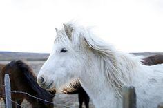 Grainline Studio | Iceland | Icelandic Horses