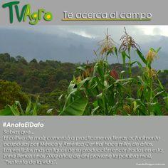 #AnotaElDato El maíz es uno de los granos más consumidos en Colombia.