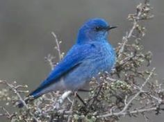 Mountain Blue Bird - Colorado