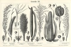 black and white grains Antique Maps, How To Antique Wood, Antique Prints, Botanical Drawings, Botanical Illustration, Botanical Prints, Wood Images, Matte Painting, Fashion Painting