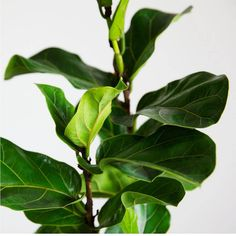 Want to really learn how to care for a fiddle leaf fig? Warning: It's not easy to keep this greenery alive—but it is totally doable. Here, two experts share all their tips and tricks for keeping a fiddle leaf fig thriving in your home.