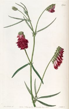 The Botanical Register // Illustration // Art // Botany // Plant // Flora // Flower