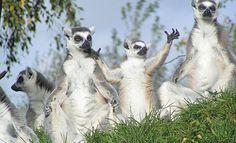 Begroet worden door de Ringstaartmaki in Safaripark Beekse Bergen. Afrika gevaarlijk dichtbij!