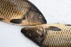 Carp Bait Recipes - seems to be alot of corn involved in these. Be-it creamed corn, cornmeal (flour), cornflakes.